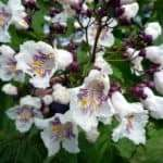 Euphrasia (Euphrasia officinalis)