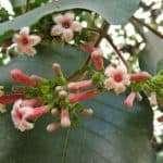 Cinchona (Cinchona Officinalis)