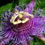 Passiflora co (Passiflora Incarnata)